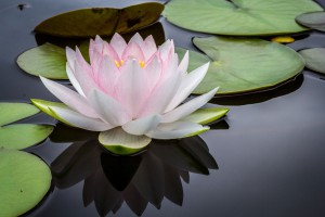 "https://goo.gl/kVFkxS ""Perfect Water Lily,"" courtesy of Jay Cas"
